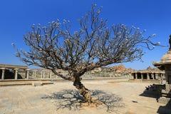 Fansypansy tree at Vitthala Temple in Hampi Royalty Free Stock Photos
