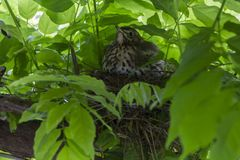 Fantail πουλί στη φωλιά στοκ φωτογραφία με δικαίωμα ελεύθερης χρήσης