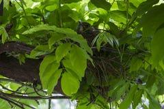 Fantail πουλί στη φωλιά στοκ φωτογραφίες με δικαίωμα ελεύθερης χρήσης