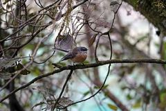 Fantail πουλί στις μπλε λίμνες στο πέρασμα Νέα Ζηλανδία Haast στοκ εικόνες με δικαίωμα ελεύθερης χρήσης