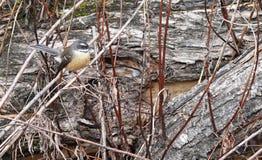 Fantail πουλί στο νότιο νησί, Νέα Ζηλανδία στοκ εικόνες