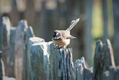Fantail πουλί στοκ φωτογραφία με δικαίωμα ελεύθερης χρήσης