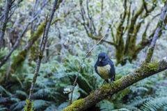 Fantail συνεδρίαση πουλιών σε έναν κλάδο στοκ φωτογραφίες με δικαίωμα ελεύθερης χρήσης