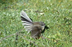 Fantail stock photography