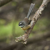 Fantail bird Stock Images