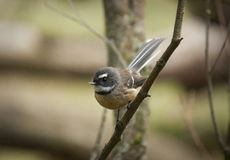 Fantail bird Stock Photos