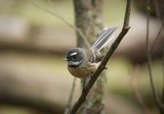 Fantail bird Stock Photos