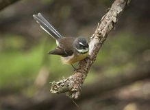 Fantail bird Royalty Free Stock Images