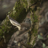 Fantail bird Stock Photography