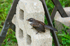 Fantail bird standing. Royalty Free Stock Photo