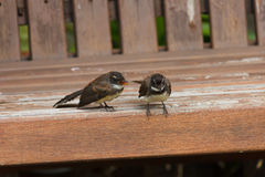 Fantail birds. Royalty Free Stock Images