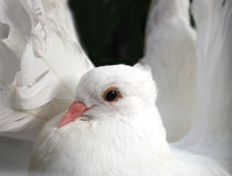 Fantail Dove (Fantail Pigeon). Sometimes found at weddings Royalty Free Stock Photography
