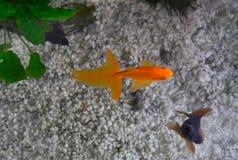 Fantail en de Zwarte leggen goudvis vast royalty-vrije stock foto