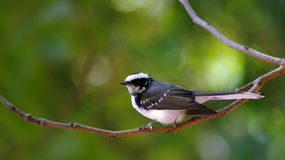 Fantail. He fantails are small bodied 11.5–21 cm long birds with long tails; in some species the tail is longer than the body and in most the tail is longer Stock Images