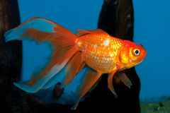 Fantail Goldfish στο ενυδρείο στοκ εικόνα με δικαίωμα ελεύθερης χρήσης