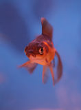 Fantail goldfish. Portrait in a Royalty Free Stock Image