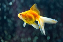 Fantail Goldfish Stock Photos