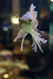 Fantail goldfish swimming in a fish tank Stock Images