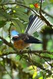 Fantail, Nationalpark Fiordland stockbilder