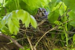 Fantail nativo ou Piwakawaka do pássaro de Nova Zelândia no ninho fotos de stock royalty free