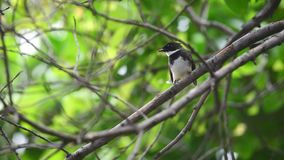 Fantail Pied malaio do pássaro em uma natureza selvagem video estoque