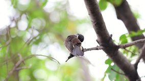 Fantail Pied malaio do pássaro em uma natureza selvagem filme