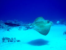 Fantail Stingray Lizenzfreie Stockfotos