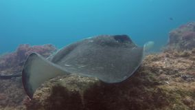 Fantail Stingray Cowtail Sting Ray Or Blotched Fantail Bull Ray Close Up & Swimming