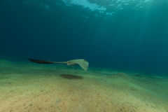 Fantail stingray in the Red Sea. Royalty Free Stock Image