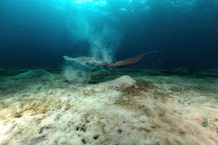 Fantail stingray (pastinachus sephen) the Red Sea. Royalty Free Stock Images