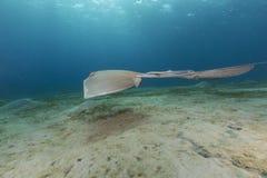 Fantail stingray (pastinachus sephen) the Red Sea. Stock Photo