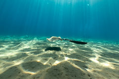 Fantail stingray the Red Sea. Royalty Free Stock Image