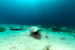 Fantail stingray in the Red Sea. Stock Photo