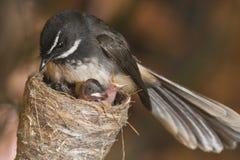 Fantailflugsnappare Fotografering för Bildbyråer
