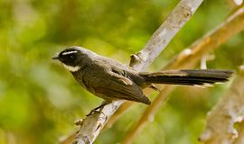 A White-throated fantail in bushes Royalty Free Stock Photography