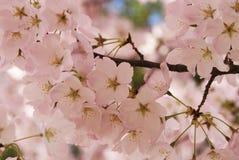Fantasía de la cereza Fotos de archivo libres de regalías