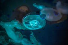 Fantasía de las medusas Imagen de archivo libre de regalías