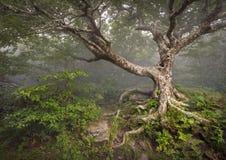 Fantasía fantasmagórica del NC de la niebla del bosque del árbol espeluznante del cuento de hadas Imágenes de archivo libres de regalías