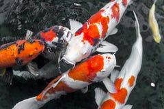 fantasia da CARPA dos beautifulfish/natação peixes do koi na lagoa, japonesa fotografia de stock royalty free