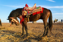 Fantasia dark bay horse with colorful saddle Royalty Free Stock Image