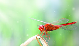 Fantasia rossa della libellula Fotografia Stock
