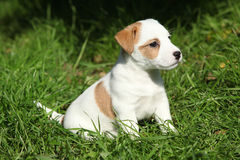 Fantastic adorable Jack Russell terrier puppy Stock Photos