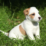 Fantastic adorable Jack Russell terrier puppy Royalty Free Stock Photo