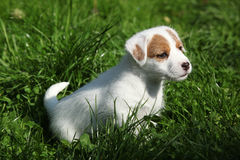 Fantastic adorable Jack Russell terrier puppy Stock Photography