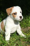 Fantastic adorable Jack Russell terrier puppy Stock Image