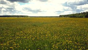 Aerial view yellow dandelion flowers among green grass. Fantastic aerial panorama yellow blooming dandelion flowers among green grass under sky with white clouds stock video footage