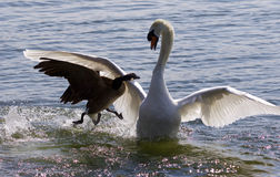 Fantastic amazing photo of the Canada goose attacking the swan on the lake Royalty Free Stock Image