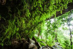 Fantastic ancient cave in the tropical forest, view from inside the cave looking out, lush fern and tropical plants in the wall. Fantastic ancient cave in the royalty free stock image