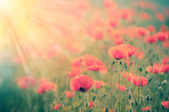 Fantastic  background  poppies field with golden sunbeams Stock Photography