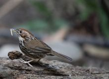 Fantastic beast and where to find them - Pellorneum ruficeps. Pellorneum ruficeps Stock Image